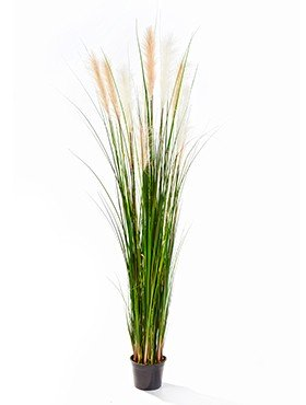 Grass reed