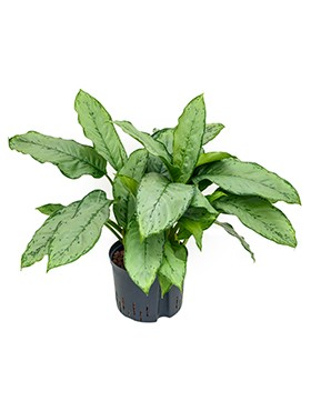 Aglaonema 'Freedman'