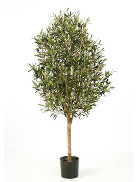 Olea naturel vine tree
