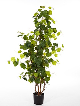 Grape ivy tree