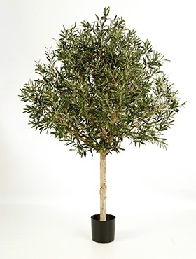 Olea naturel baum topiary
