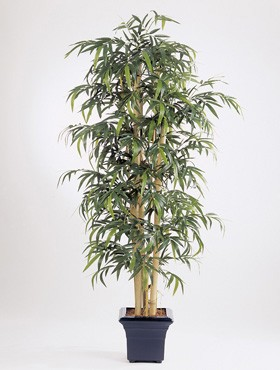 New giant bamboo