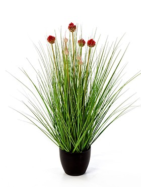 Allium grass
