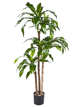 Dracaena fragrans steud