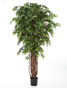 French ficus liana