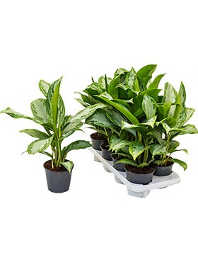 Aglaonema silver bay 8/tray
