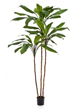 Cordyline fruticosa tree