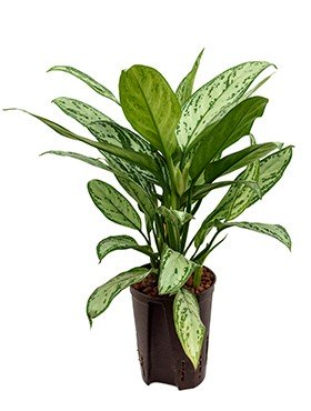 Aglaonema 'Silver King'